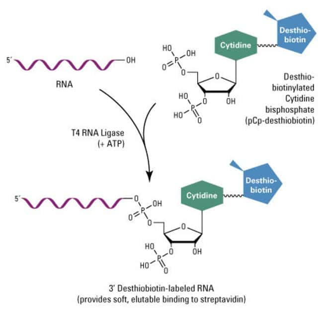 Reaction scheme for the T4 RNA ligation reaction