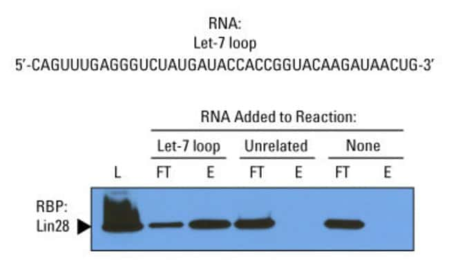 Let-7 loop RNA specifically enriches Lin28 in NCCIT extract