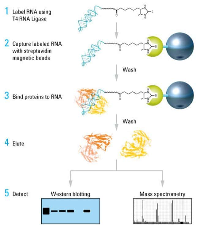 RNA-Protein Pull-Down Protocol