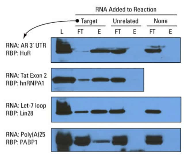 RNA binding proteins (RBP) of the AR 3' UTR control system (top panel) and three experimental systems were enriched according to kit procedure. L = lysate; FT = flow-through; E = eluate. Incubation of