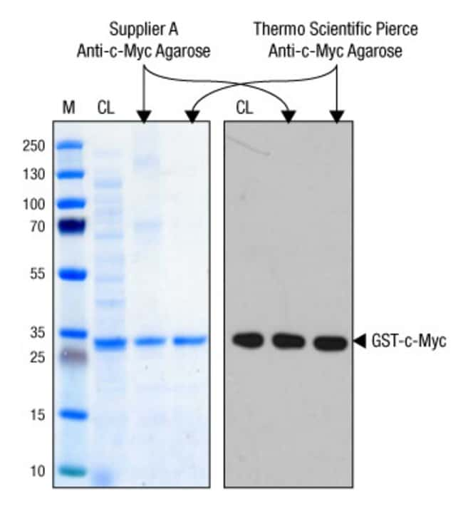 High-quality immunoprecipitation of c-Myc-tagged protein