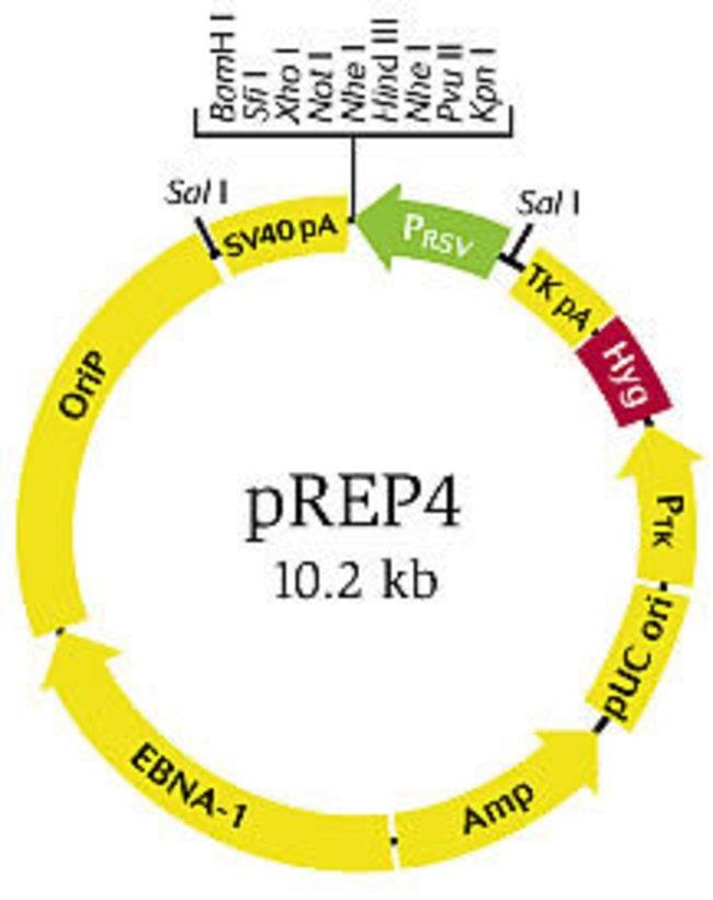 pREP4 vector