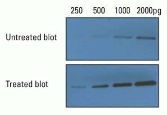 Enhanced chemiluminescent substrate detection using Thermo Scientific Pierce Western Blot Signal Enhancer
