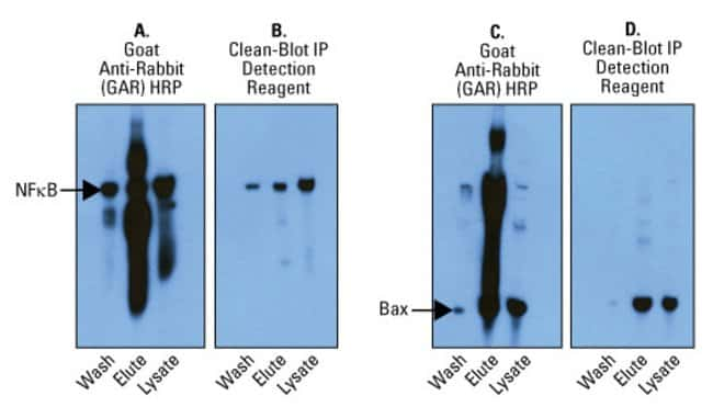 NFκB and Bax were immunoprecipitated from A549 lysate using Protein A/G agarose resin and rabbit anti-NFκB (panels A and B) and rabbit anti-Bax (Panels C and D). Fractions from each IP ass