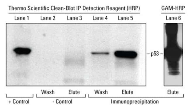 The main panel (lanes 1 to 5) shows secondary detection of p53 with the Clean-Blot IP Reagent (HRP) of various control and IP conditions. The small panel (lane 6) shows detection with peroxidase-