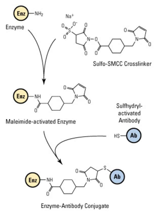 Antibody-enzyme conjugation with SMCC