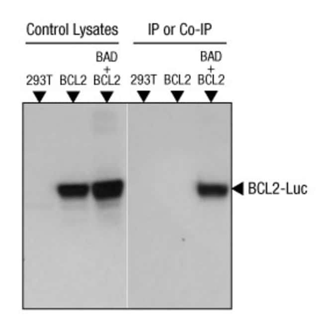 Co-IP of BCL2-Luc with c-Myc-tagged BAD in 293T cells