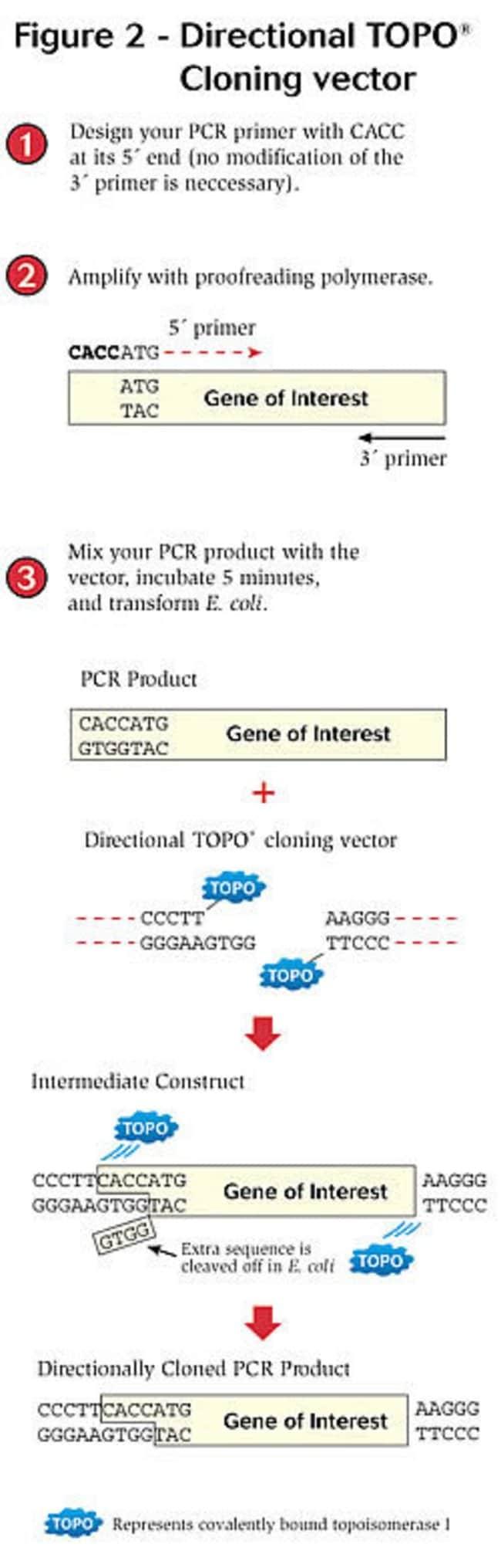 Figure 2 - Directional TOPO® Cloning vector