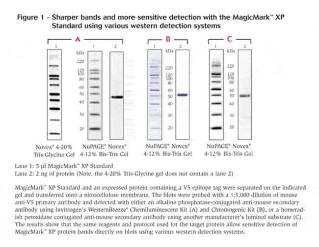 Sharp bands and sensitive detection using various western detection systems.