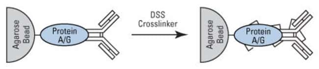 Antibody immobilization method of the Crosslink IP Kit