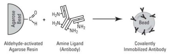 The antibody becomes covalently attached to aldehyde-activated beaded agarose resin (AminoLink Plus Coupling Resin). By contrast with traditional IP methods, the Direct IP Kit enables elution of antig