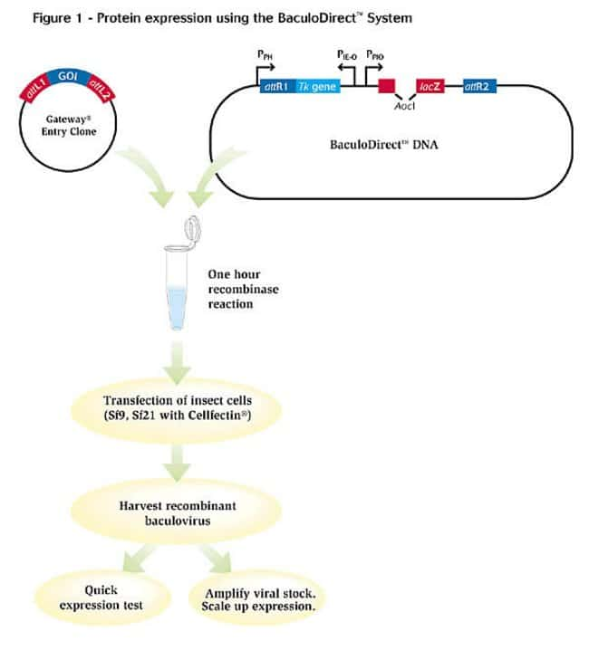 Figure 1 - Protein expression using the BaculoDirect™ System