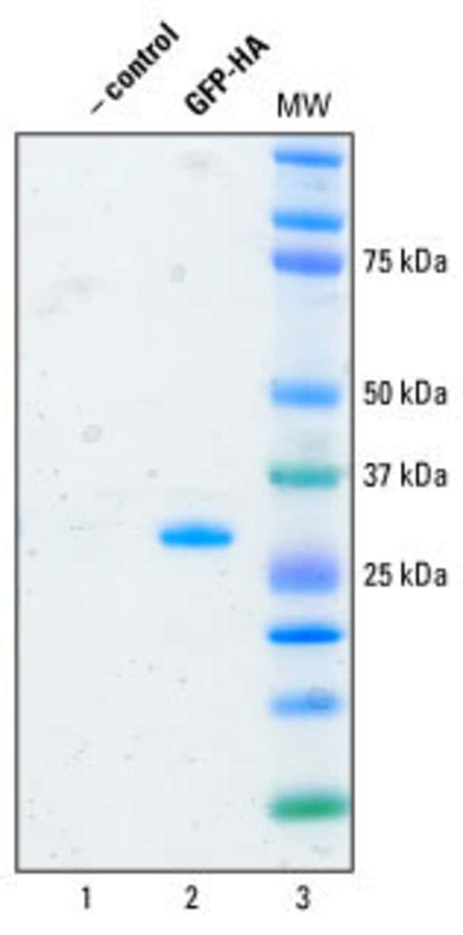 HA-tagged GFP (from <em>Pontellina plumata</em>) was expressed with the Pierce Human <em>In Vitro</em> Protein Expression System and purified by incubation with Pierce Immobilized Anti-HA Agarose. Ant