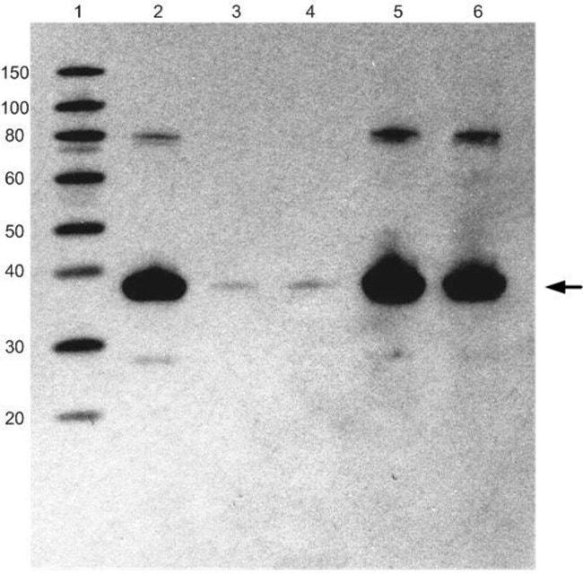 HA Epitope Tag Antibody (26183) in WB