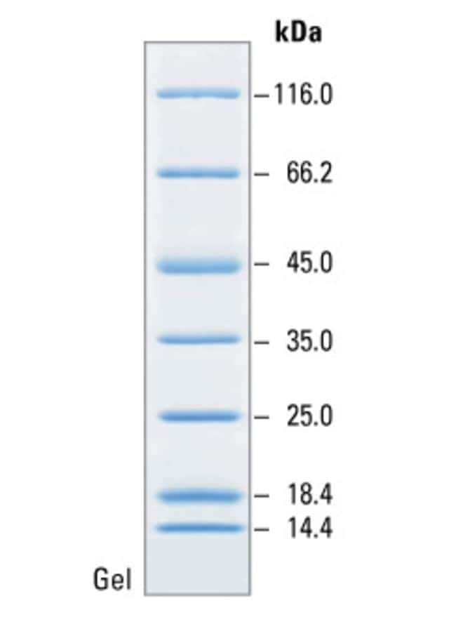 SDS-PAGE band profile of the Unstained Protein Molecular Weight Marker