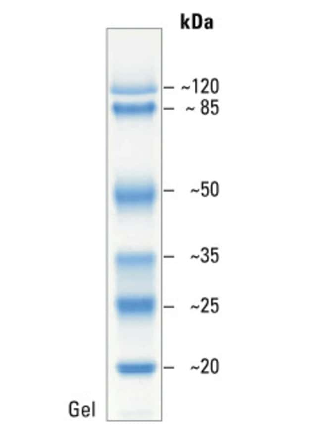 SDS-PAGE band profile of the Prestained Protein Molecular Weight Marker