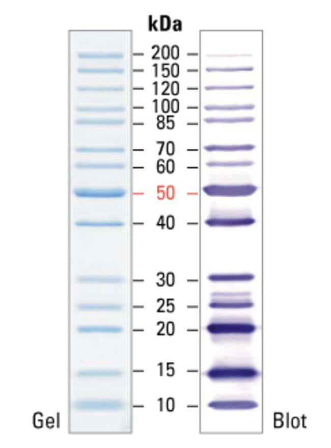 SDS-PAGE band profile of the PageRuler Unstained Protein Ladder