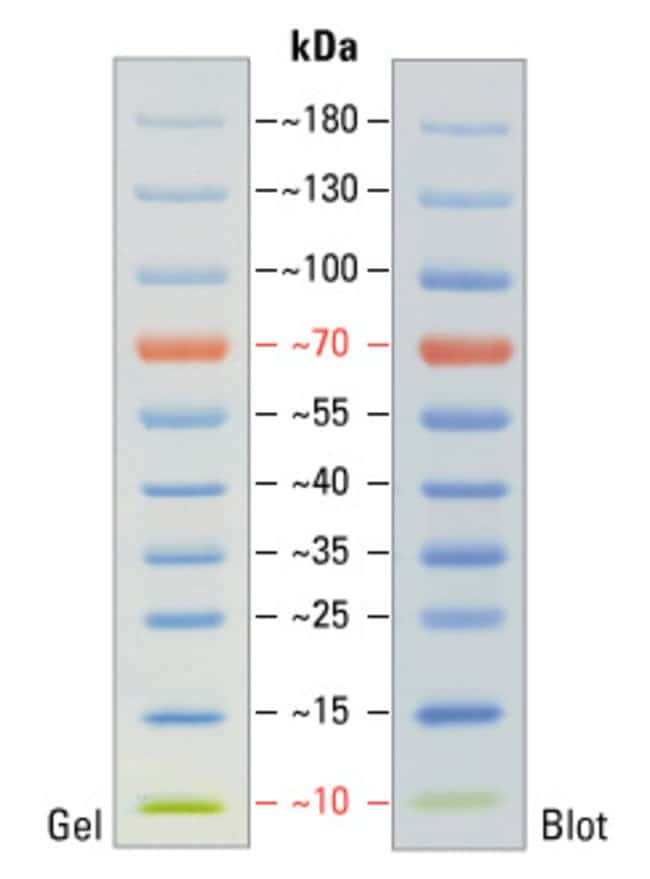 Pageruler Prestained Protein Ladder 10 To 180 Kda