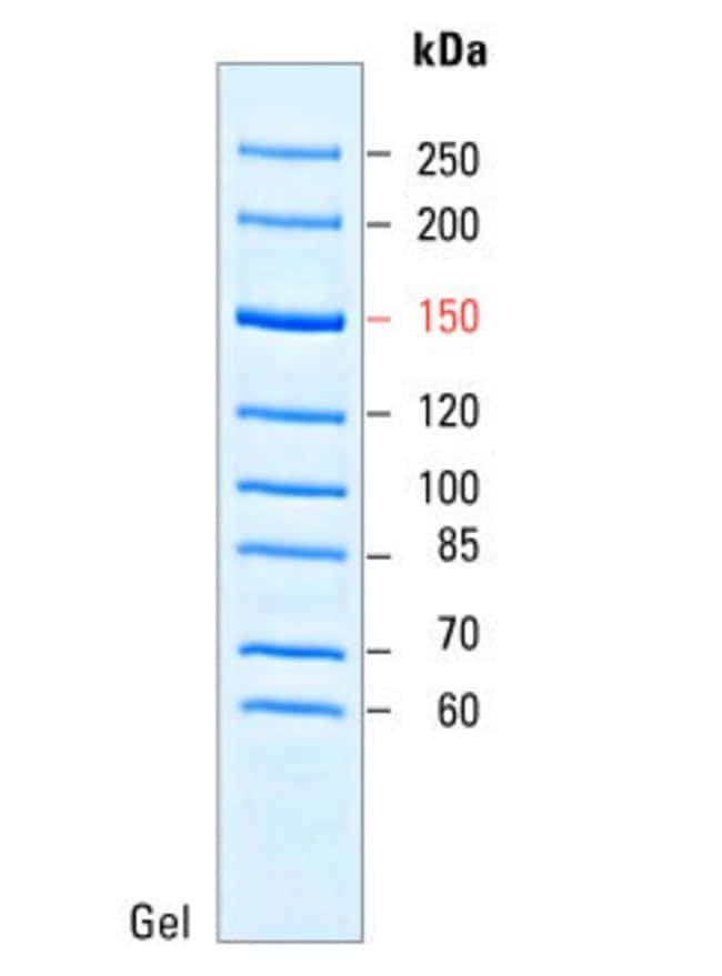 Image represents a 4-20% Tris-glycine gel (SDS-PAGE) stained with coomassie blue dye.