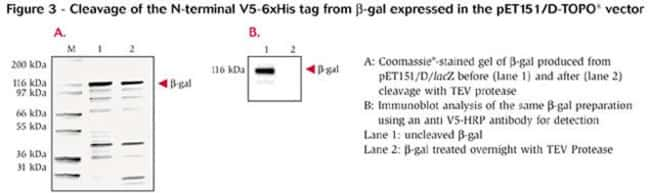 Figure 3 - Cleavage of the N-terminal V5-6xHis tag from β-gal expressed in the pET151/D-TOPO® vector