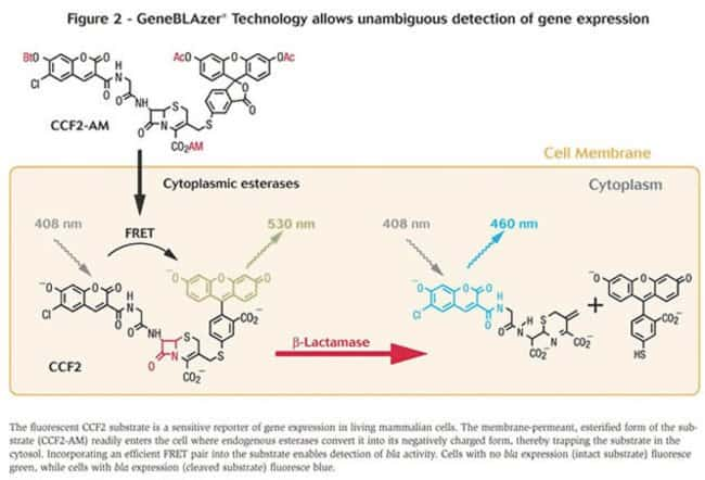 Figure 2 - GeneBLAzer™ Technology allows unambiguous detection of gene expression