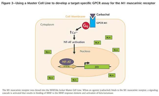 Figure 3 - Using a Master Cell Line to develop a target-specific GPCR assay for the M1 muscarinic receptor
