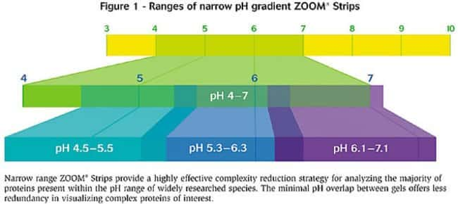 Figure 1 - Ranges of narrow pH gradient ZOOM Strips