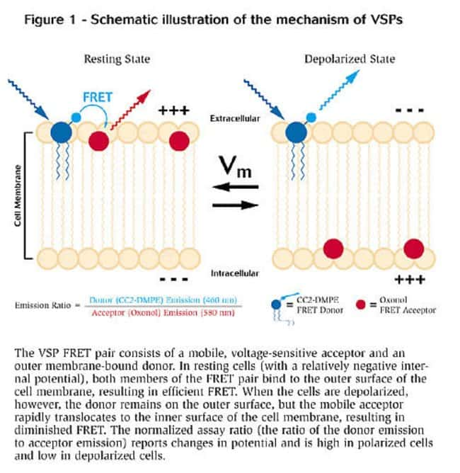 Schematic illustration of the mechanism of VSPs