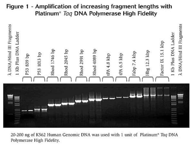 Amplificatiton of increasing fragment lengths with Platinum® <i>Taq</i> DNA Polymerase High Fidelity.