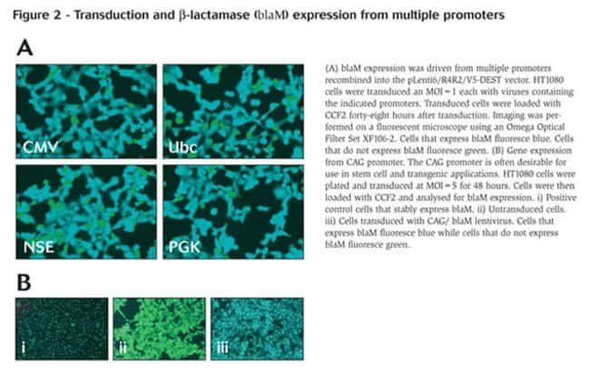 Figure 2 - Transduction and β-lactamase (blaM) expression from multiple promoters
