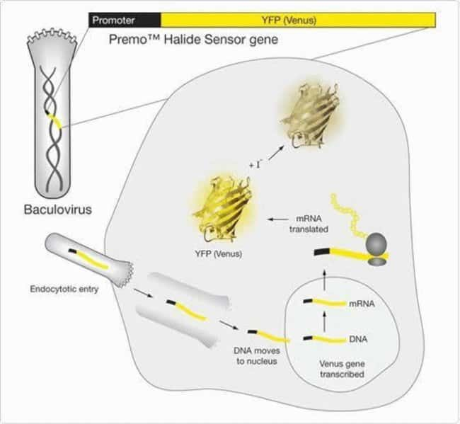 The combination of a YFP biosensor with BacMam delivery technology yields a robust and easy-to-use sensor for cell-based assays.  BacMam baculoviral particles carrying the YFP (Venus) gene (yellow) ar