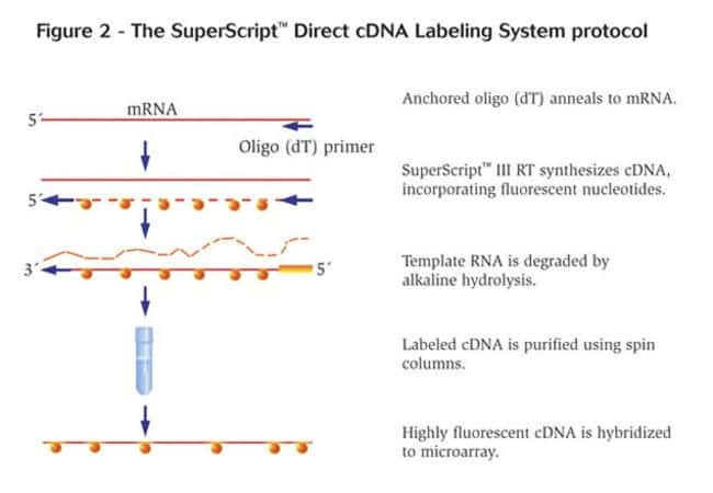 Figure 2 - The SuperScript™ Direct cDNA Labeling System protocol