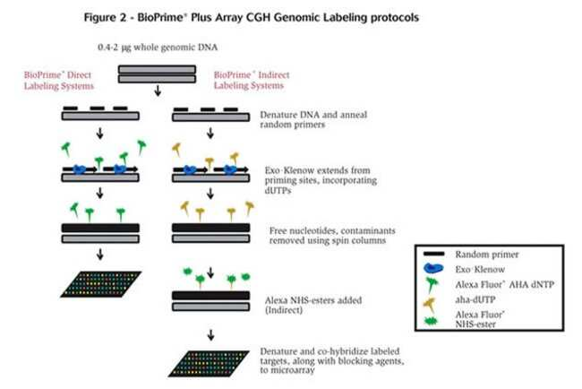 Figure 2 - BioPrime® Plus Aray CGH Genomic Labeling protocols