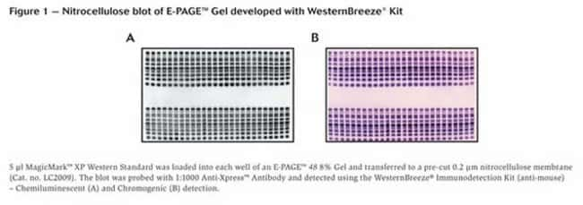 Figure 1 - Nitrocellulose blot of E-PAGE™ Gel developed with WesternBreeze® Kit