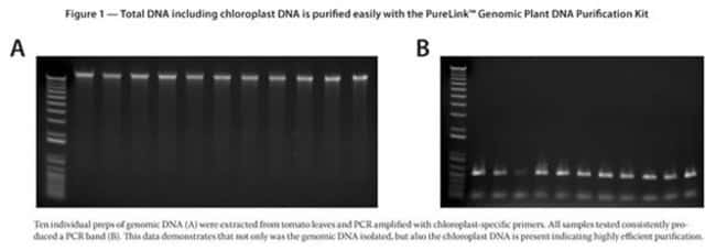 Figure 1 - Total DNA including chloroplast DNA is purified easily with the PureLink™ Genomic Plant DNA Purification Kit