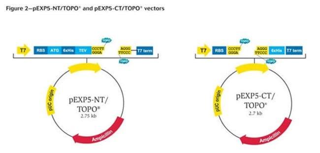 Figure 2-pEXP5 NT/TOPO® and pEXP5 CT/TOPO® vectors