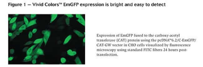 Figure 1 - Vivid Colors™ EmGFP expression is bright and easy to detect