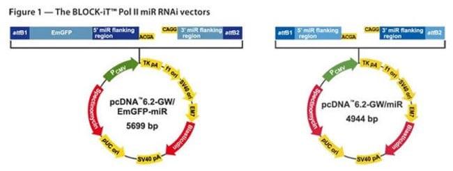Figure 1 - The BLOCK-iT™ Pol II miR RNAi Expression Vectors