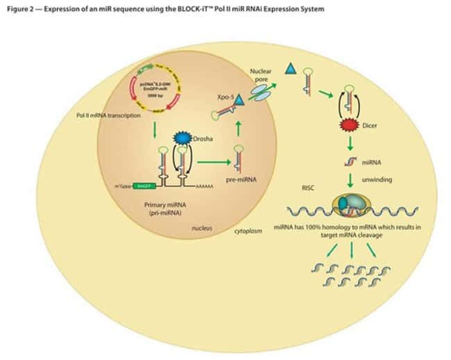 Figure 2 - Expression of an miR sequence using the BLOCK-iT™ Pol II miR RNAi Expression System