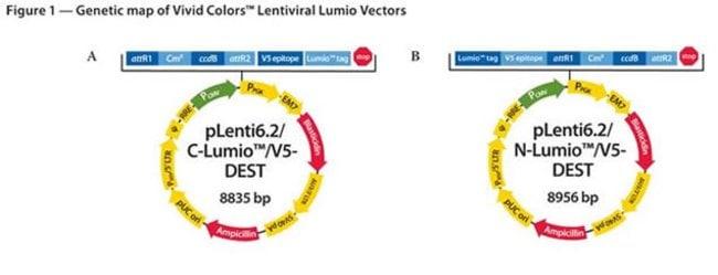 Figure 1 - Genetic map of Vivid Colors™ Lentiviral Lumio™ Vectors