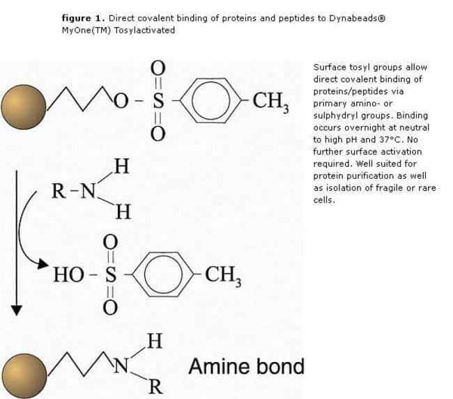 figure 1. Direct covalent binding of proteins and peptides to Dynabeads® MyOne(TM) Tosylactivated