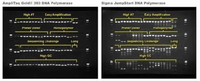 Panel A shows products amplified with AmpliTaq® Gold 360 DNA Polymerase while Panel B shows the same products amplified using the Sigma JumpStart DNA Polymerase. PCR reactions were performed using