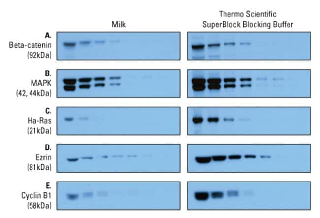 SuperBlock Blocking Buffer in PBS is better than milk for sensitive detection of target proteins