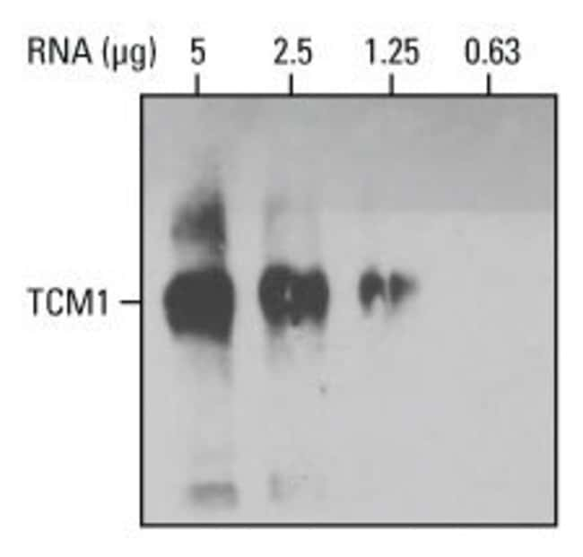 Northern blot using stabilized, diluted streptavidin-HRP conjugate