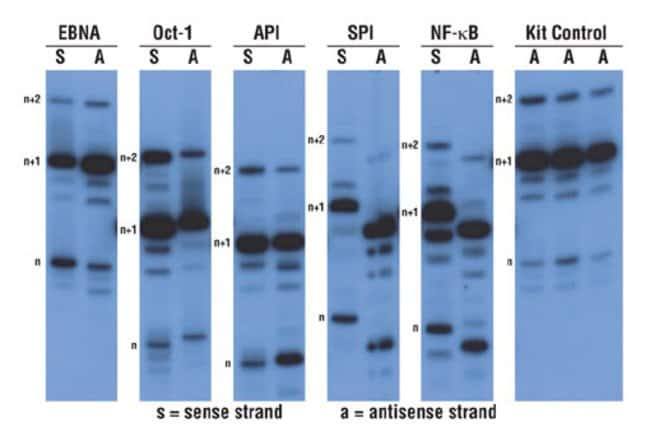 Sequencing gel analysis confirms efficient biotinylation of oligonucleotides