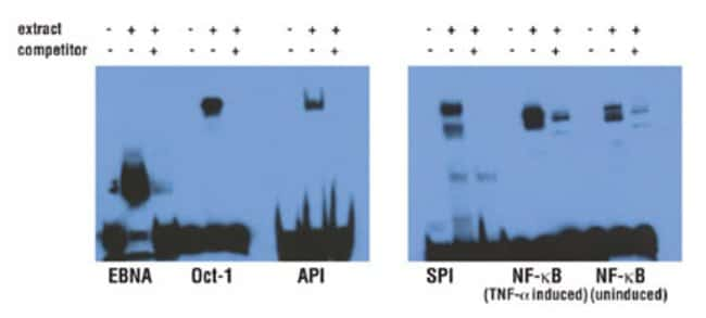Biotin end-labeled DNA duplexes are effective targets for chemiluminescent gel shift assays