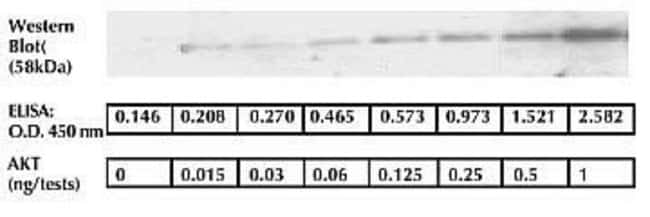 The sensitivity of this ELISA was compared to Western blotting using known quantities of AKT. The data presented here show that the sensitivity of the ELISA is approximately 2x greater than that of Western blotting. The bands shown in the Western blot dat