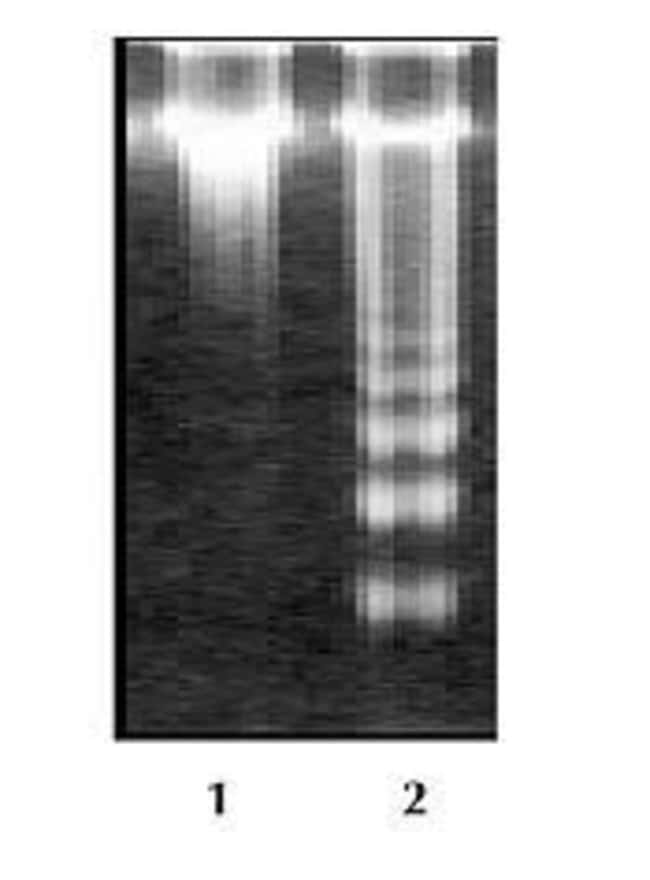 Apoptosis was induced in Jurkat cells by incubating cells with 2 µM Camptothecin for 5 hours at 37°C (Lane 2) and DNA was visualized using the DNA ladder kit. DNA from Jurkat cells without Camptothecin treatment were used as control (Lane 1).