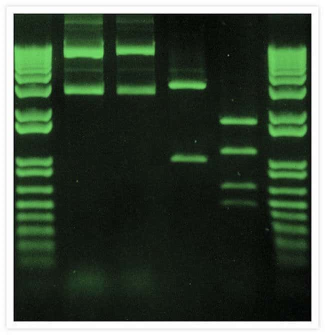 DNA fragments were electrophoresed through an agarose gel, then stained with SYBR® Safe DNA Gel Stain.