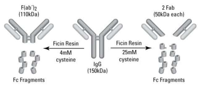 Digestion scheme for preparing F(ab')2 fragments from mouse IgG1 antibodies